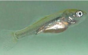 Carassius auratus (poisson rouge, voile de chine, telescope, tête de lion...) 7544815_jours