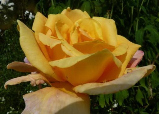 mes roses 2015 780118fleurs_de_printemps_302_modifier