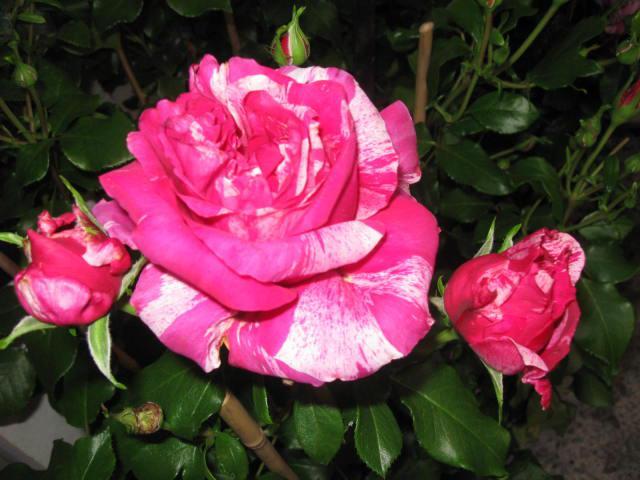 altera rosa 2010 833466ines_sastre