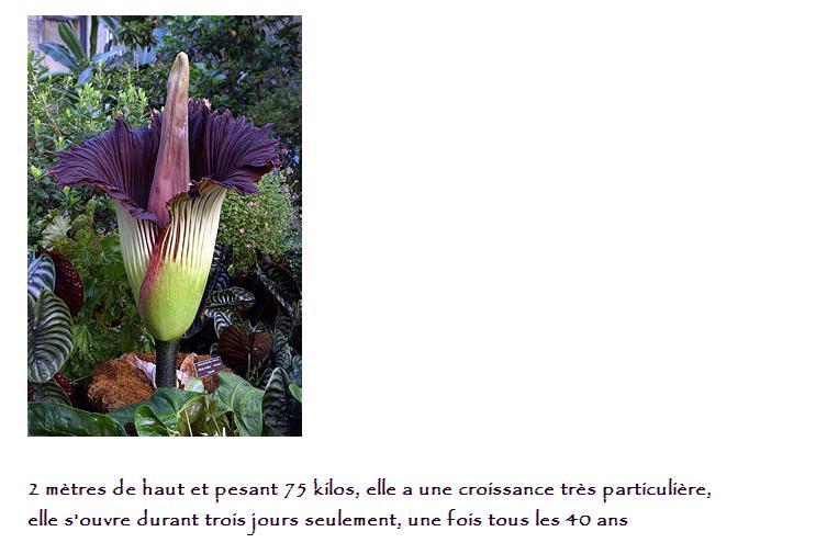 La plus grosse fleur au Monde 8591082