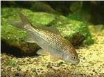 Carassius auratus (poisson rouge, voile de chine, telescope, tête de lion...) 940442carrasius
