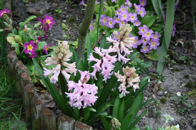 Quelques floraisons 945108jacynthes4
