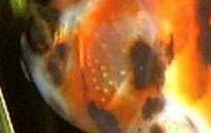 Carassius auratus (poisson rouge, voile de chine, telescope, tête de lion...) 981628Capture01