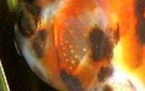 Carassius auratus (poisson rouge, voile de chine, telescope, tête de lion...) 981628Capture01