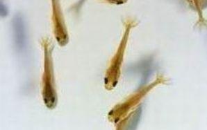 Carassius auratus (poisson rouge, voile de chine, telescope, tête de lion...) 9823739