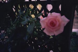 Mes rosiers  Mini_318984rosiersejourjpg