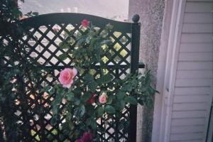 Mes rosiers  Mini_408854rosiersejour3jpg