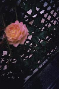 Mes rosiers  Mini_549503rosiersejour1jpg