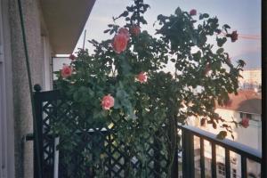 Mes rosiers  Mini_786717rosiersejour4jpg