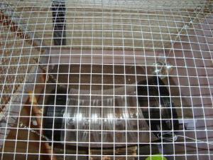 Vos cages : les photos [PAS DE COMMENTAIRES] - Page 3 Mini_873406DSC00455