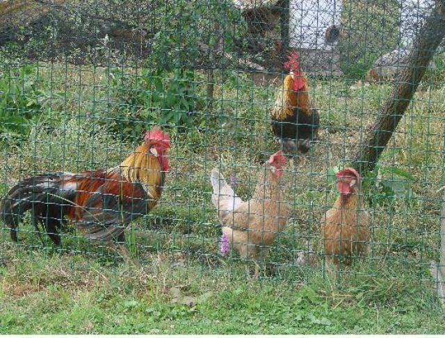 Quelques photos de races de poules 1074471