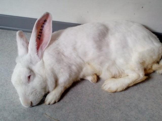 Association White Rabbit - Réhabilitation des lapins de laboratoire - Page 2 116433azur2