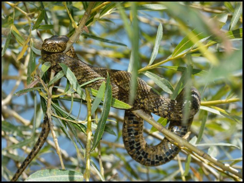 lézards et autres reptiles - Page 6 118338DSC0006