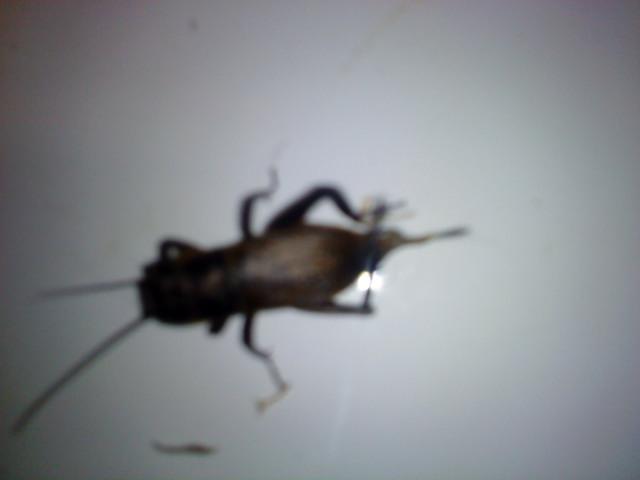 Aide pour l'identification d'un insecte. 120497DSC00116