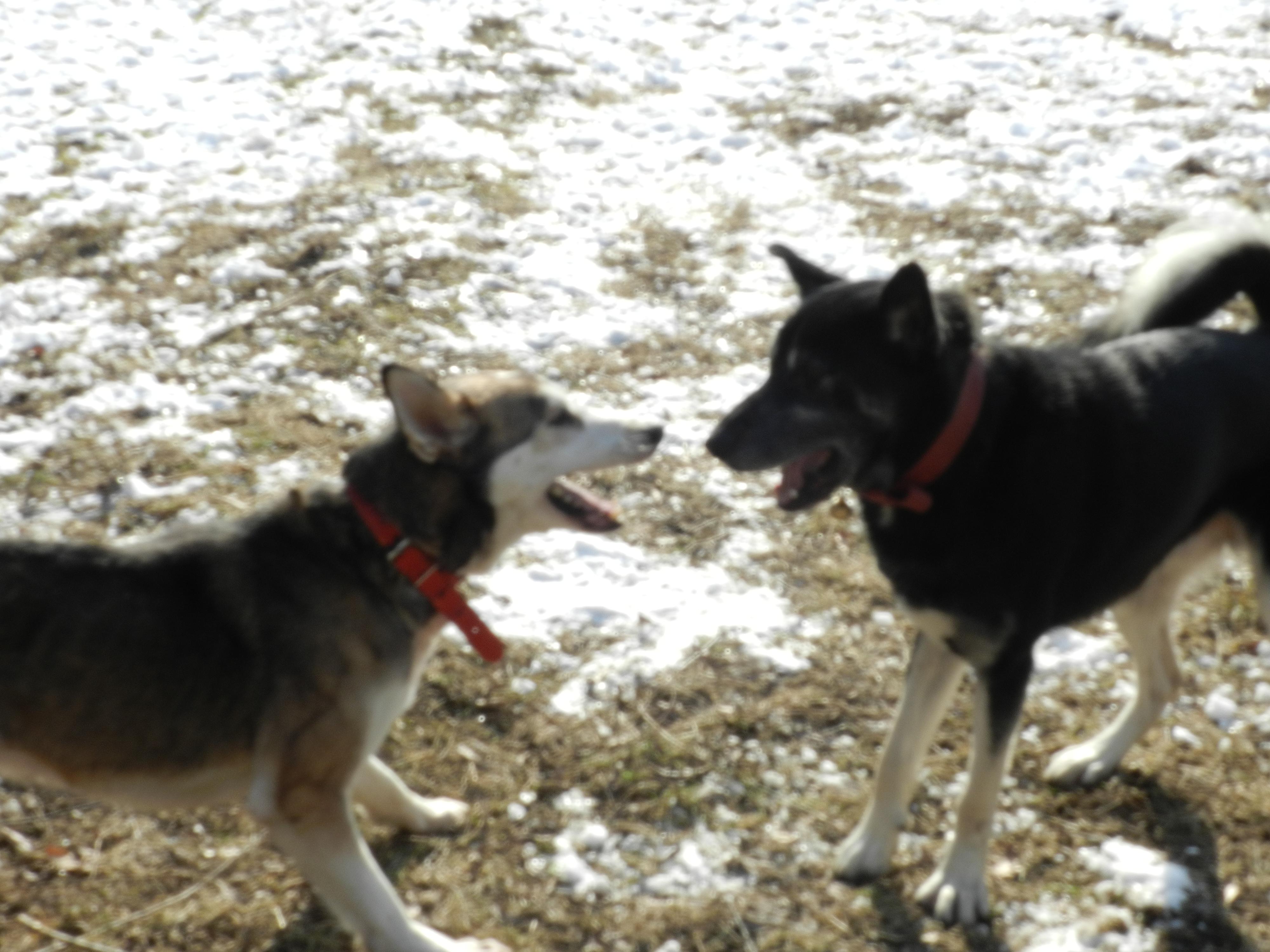 Link Berger X Husky mâle 5 ans gris et blanc PAR:38 ADOPTE 125451DSCN2045