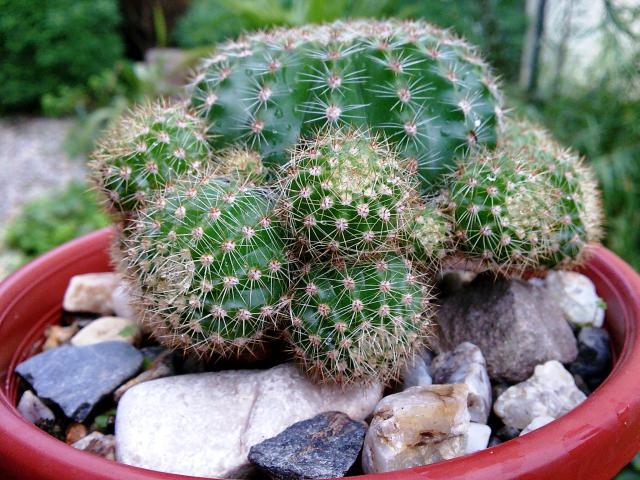 Floraisons de novembre 12547317.cactus_boule