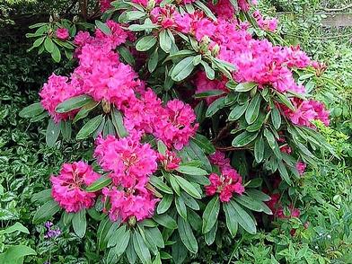 Plantes toxiques ou à risques 125852rhod