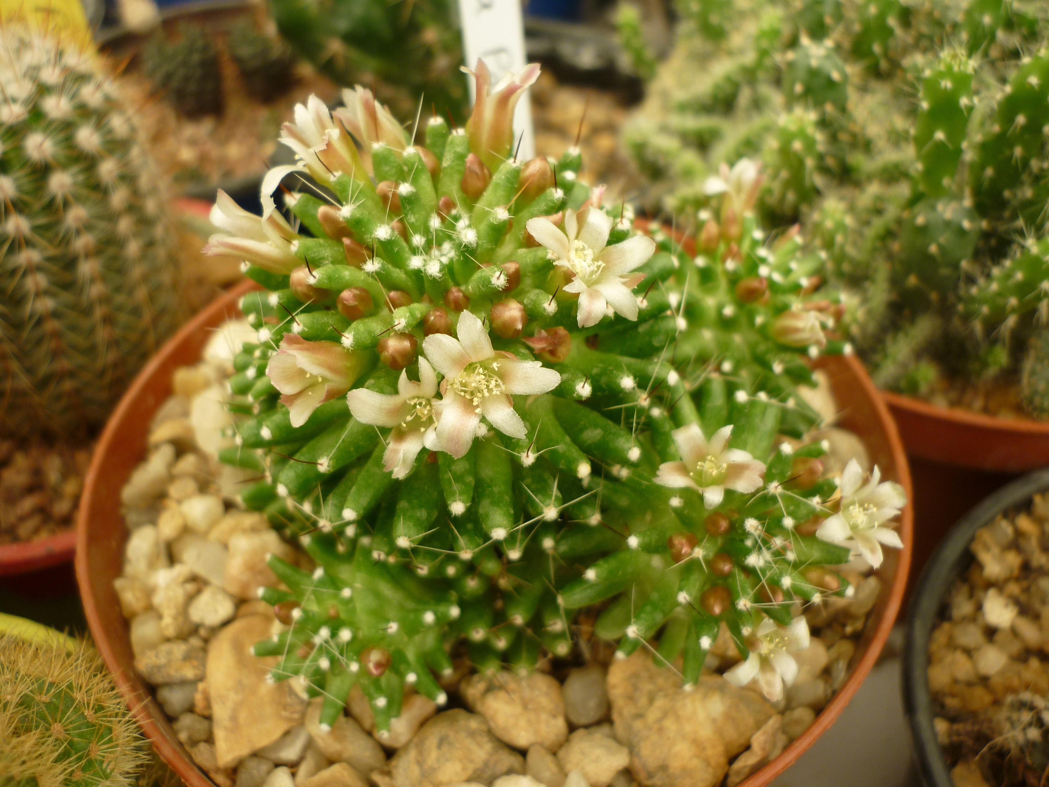 Mammillaria painteri 126399mammipainterie