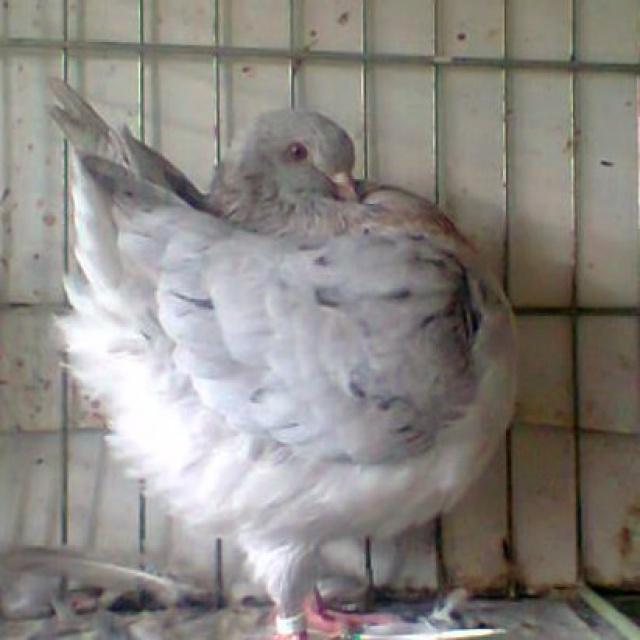 Pigeons 2015 - Page 2 126742Photo0850001