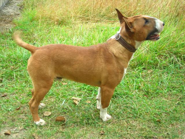 Bull Terrier Miniature 129330dscn3129