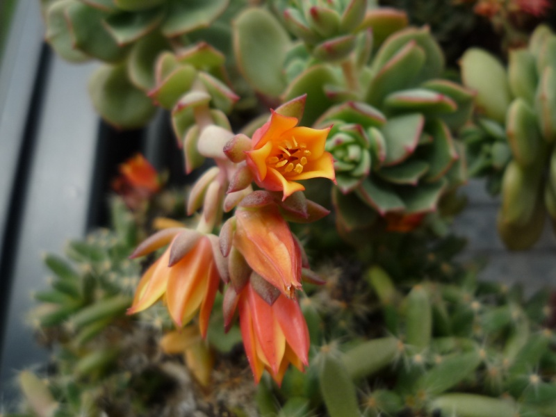 un bouquet de fleurs d'Echeveria pour fêter l'arrivée du soleil! 130816victorfleurs201