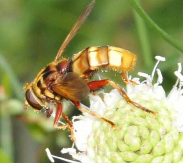 [Volucella inanis + Milesia crabroniformis] Un Syrphe , 130988diptere1
