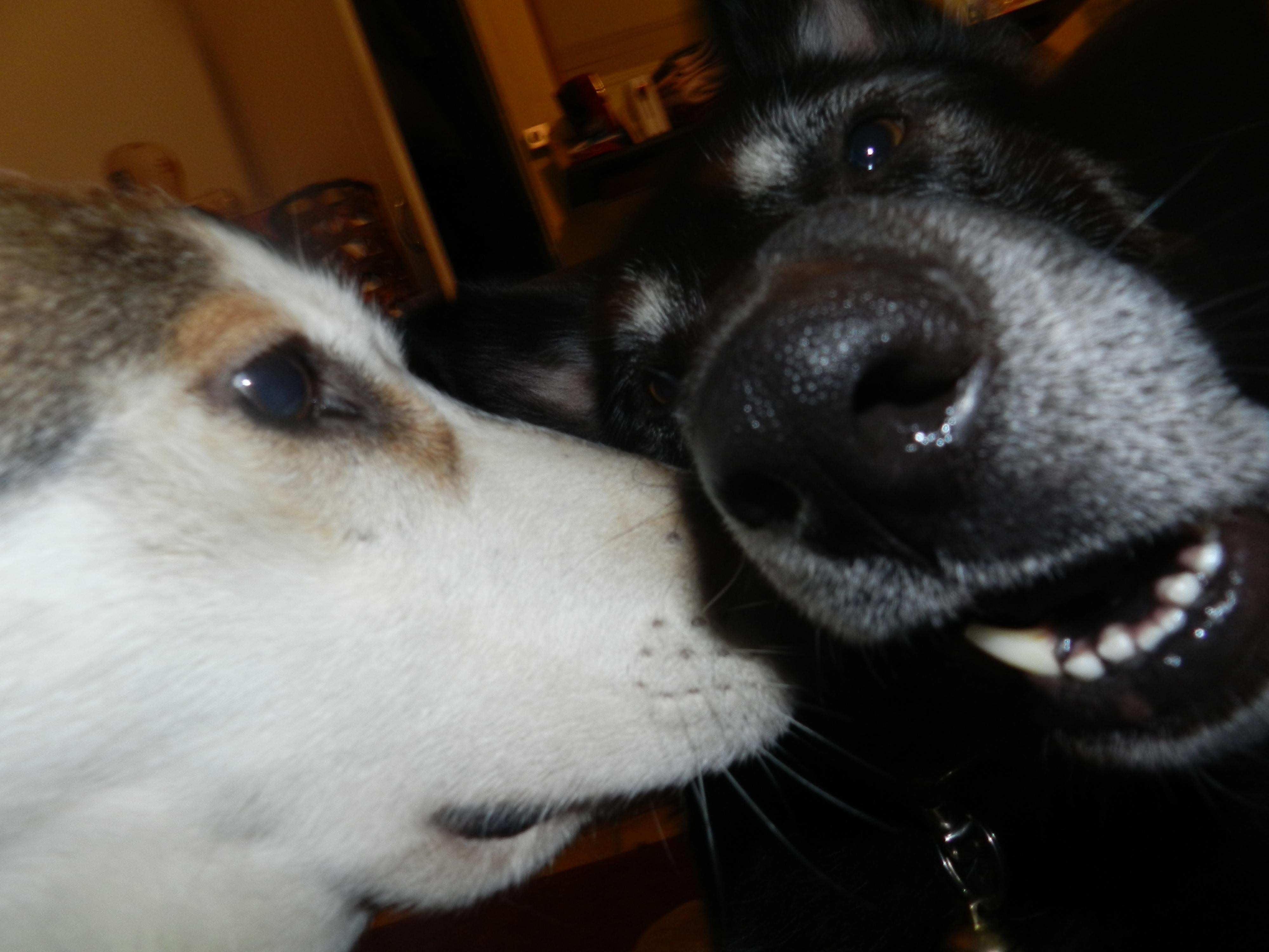 Link Berger X Husky mâle 5 ans gris et blanc PAR:38 ADOPTE 138756DSCN2004