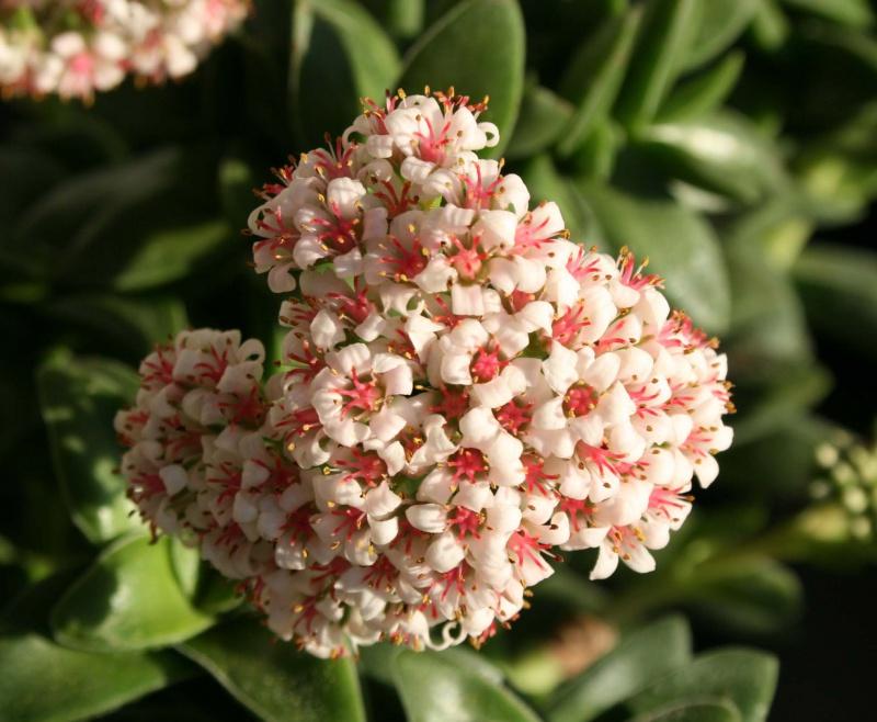 Crassula 'Bride's Bouquet' et Crassula 'Springtime' 138796crassulaspringtime
