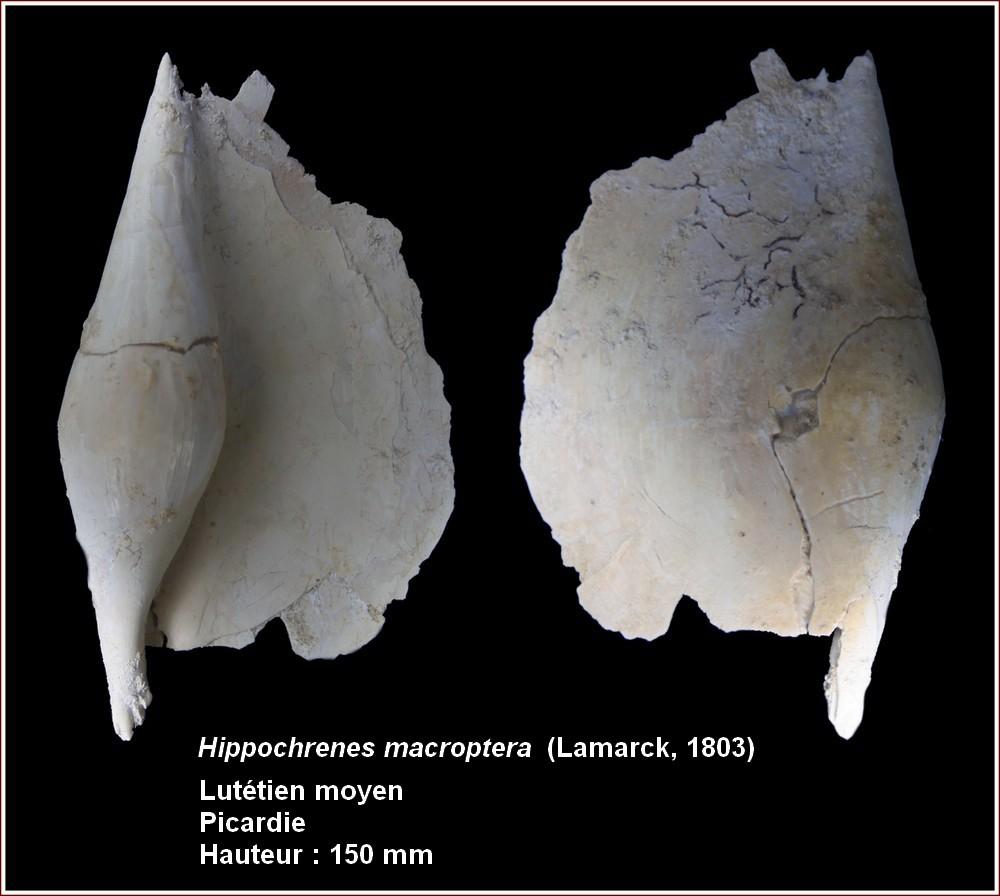 "† Strombidae fossiles de la collection ""hybodus"" - Eocène du bassin parisien 139336plhippomacroptera"