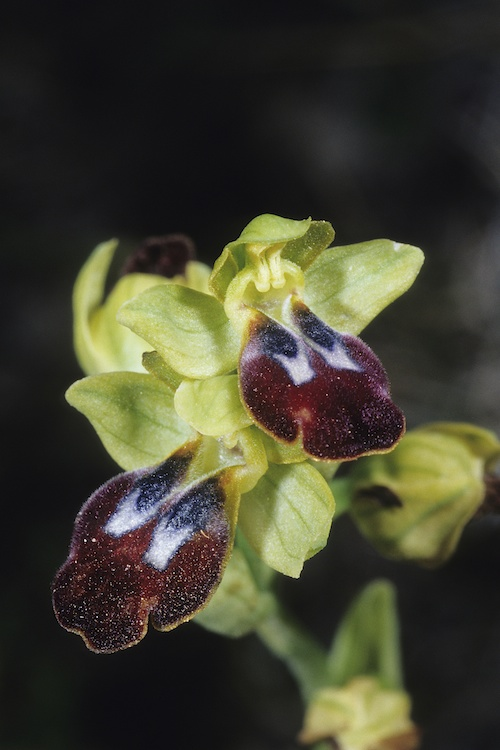 Ophrys peraiolae & zonata 1415233580