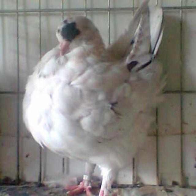 Pigeons 2015 - Page 2 144403Photo0860001