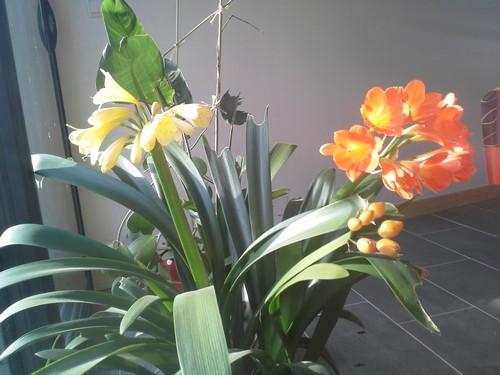 floraison clivia - Page 2 150661clivias20140125112820