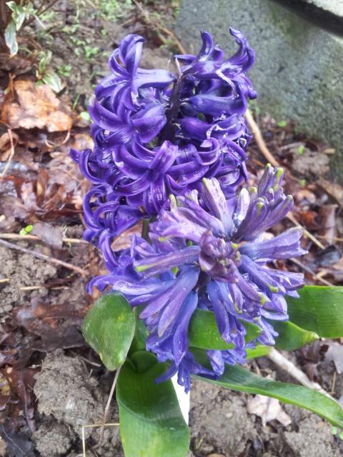 Jacinthe , Hyacinthus - Page 6 15112720150331103607
