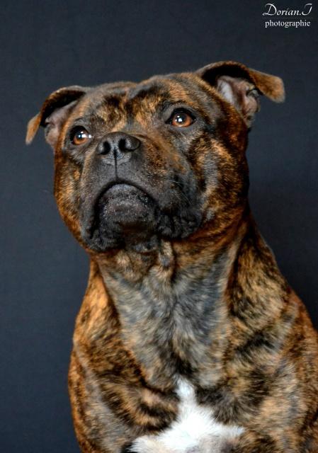 Le Staffordshire Bull Terrier : le staffie - Page 4 151979DSC0240