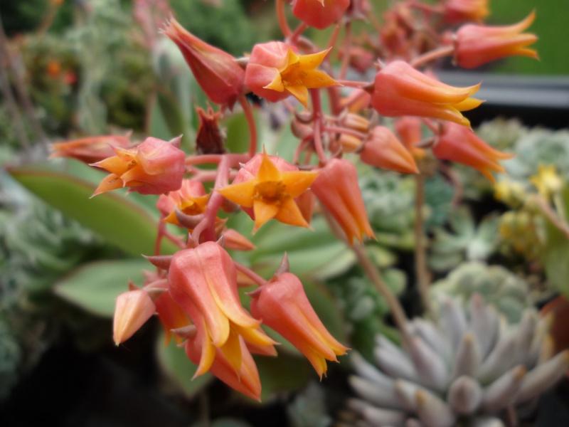 un bouquet de fleurs d'Echeveria pour fêter l'arrivée du soleil! 153687tolimanensisfleurs01