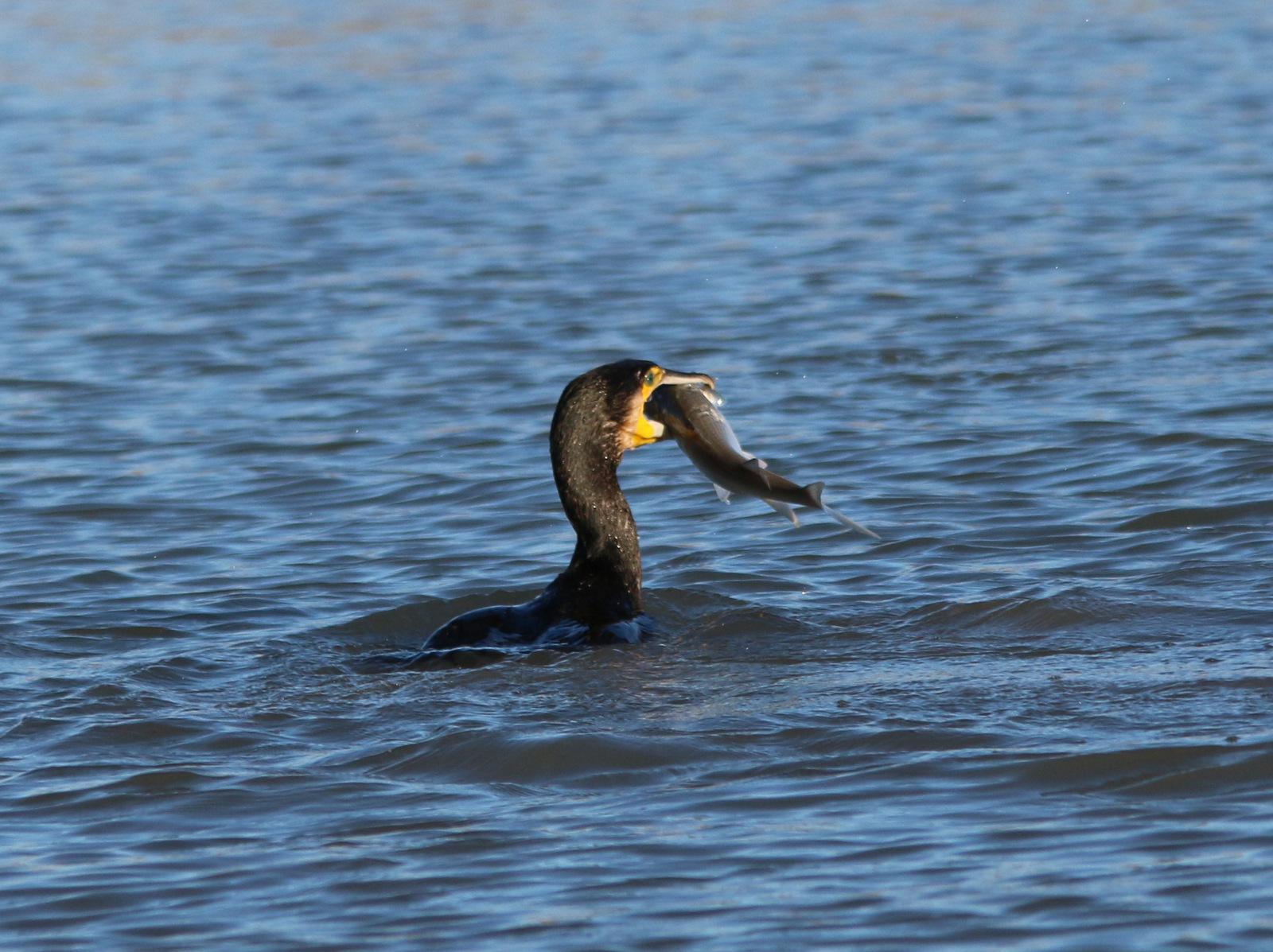 Festin du cormoran 154891IMG4144