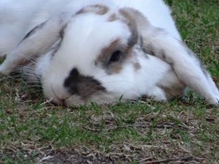 Nina, lapine bélier, née en aout 2011 - Page 8 155026DSC00014