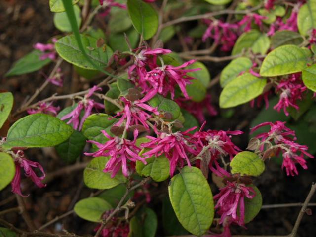 Loropetalum chinensis 158410P4264140