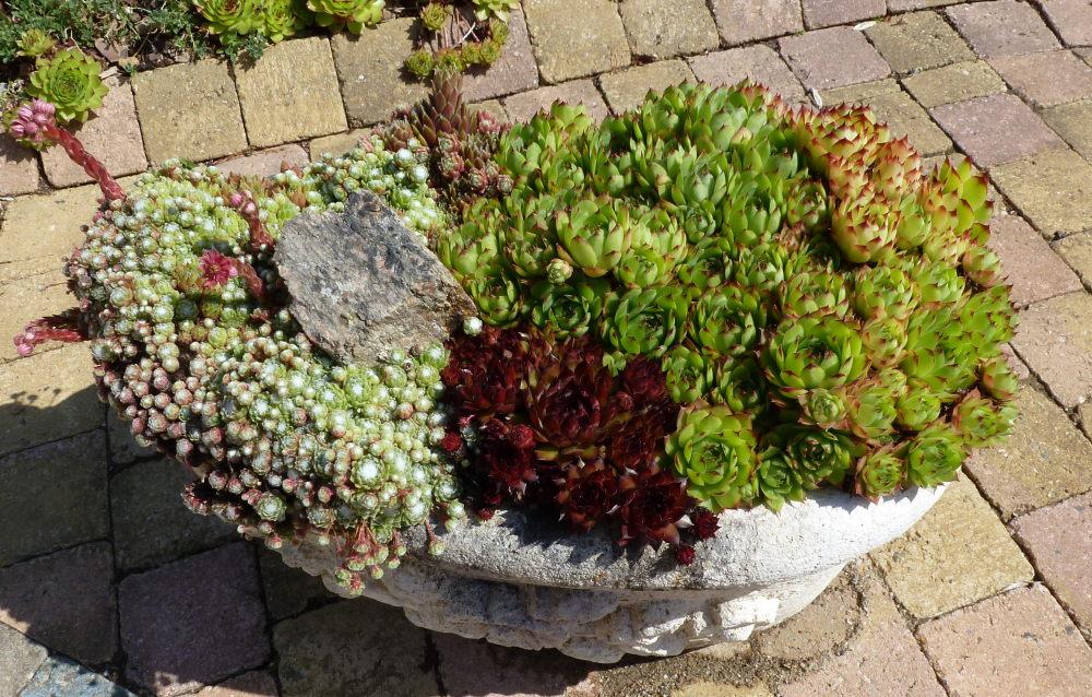 quelques plantouilles au jardin... 160490Vendeplantesgrasses011