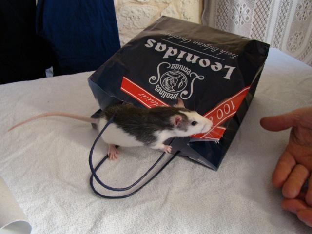 Entrée dans le monde des rats avec ces deux ptits ratous ! (NEWS 24/02 162671DSC00383