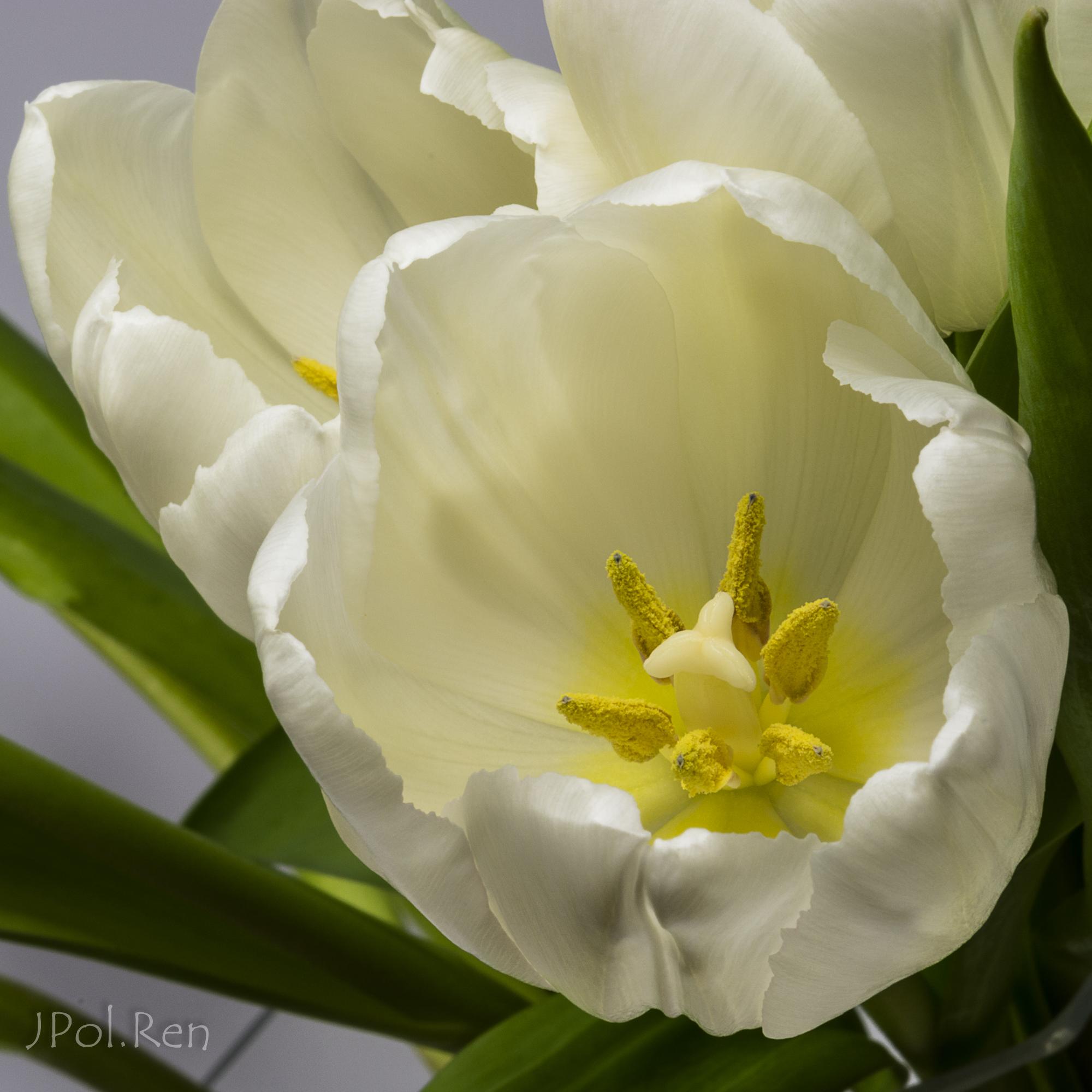 Belles tulipes 164814GB19tul0042