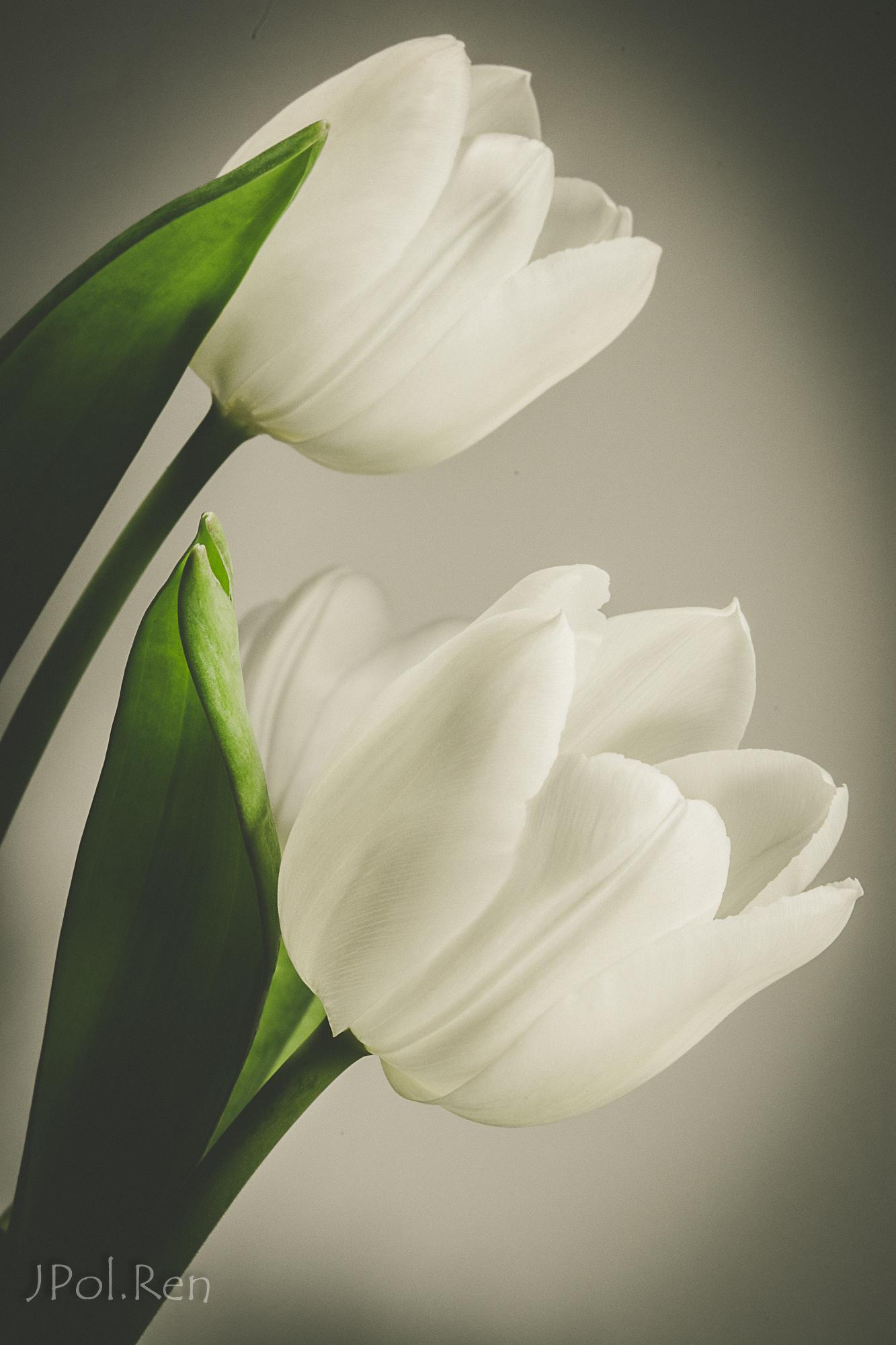Belles tulipes 165918GB19tul0031