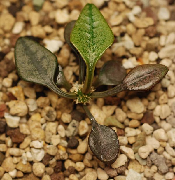Euphorbia francoisii - Page 4 171249DSC1729