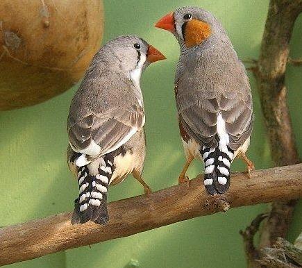 Tubes rapasse et oiseaux 173486Mellmelgibson1ge4