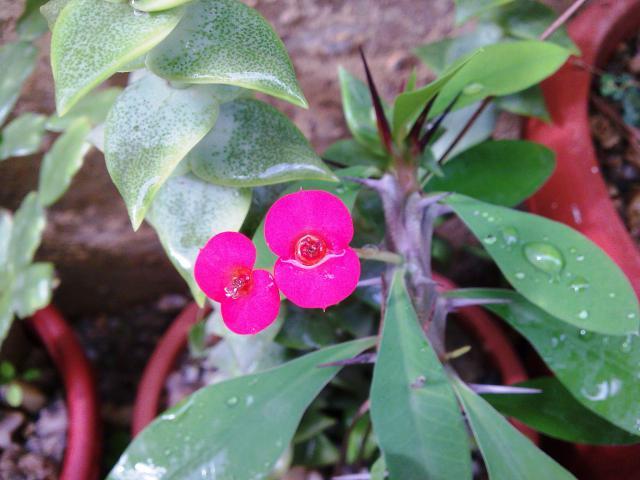 Floraisons de novembre 1749128.Euphorbia_milii