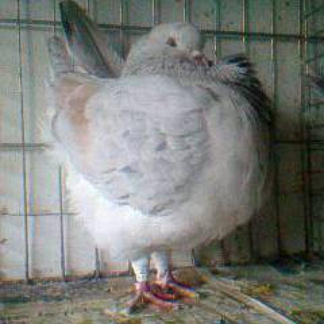 Pigeons 2015 - Page 2 174935Photo0885
