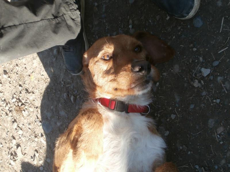 FAUVE (chien croisé fauve de Bretagne) 175253P2185817
