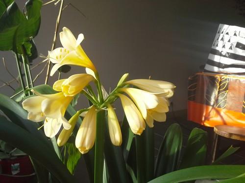 floraison clivia - Page 2 178356clivias20140125112844