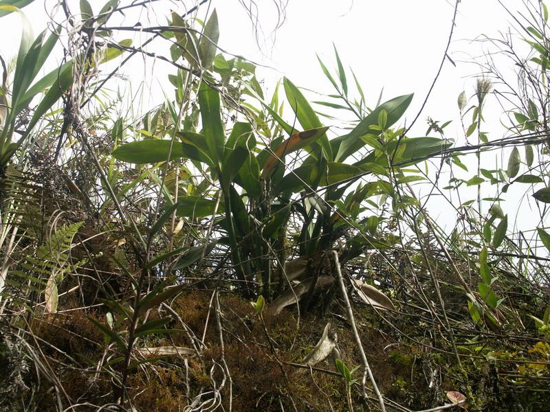 Eriopsis biloba 179645EriopsisbilobainsituEquateur