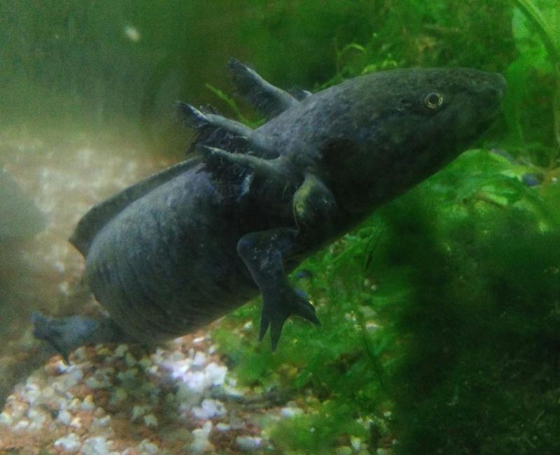 Mon bac planté pour axolotls  18076420150910142847